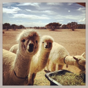 Three little alpacas are we...