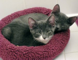 Darcy & Knightley as Kittens
